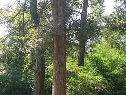 Кругляк тополя технологический лес ствол