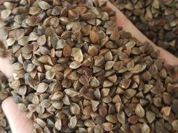 Крупозавод на постійній основі дорого купує зерно гречихи.