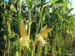 Семена кукурузы Галатея - фото 1