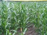 Кукуруза цукрова в качанах оптом - фото 1