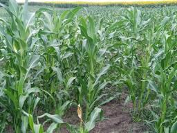Кукуруза цукрова в качанах оптом