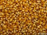 Кукуруза для приготовления попкорна - фото 1