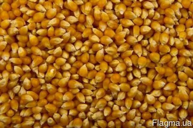 Кукуруза для приготовления попкорна