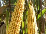 Кукуруза ЕС Астероїд ФАО 290 кукурудза - фото 2