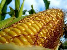 Кукуруза ЕС Конкорд ФАО 250 кукурудза