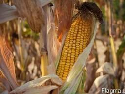 Кукуруза ЕС Пароли, ФАО 260, Euralis Semences, семена