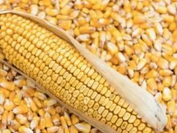 Кукуруза кормовая экспорт