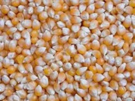 Кукуруза фуражная на экспорт.