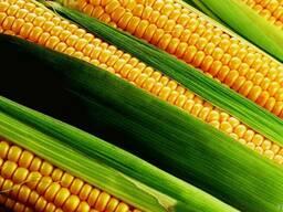 Кукуруза. Гибрид Афина ФАО 320, фракция Стандарт. Франция