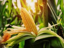 Экспорт фуражной кукурузы , пшеницы, ячменя масла , муки