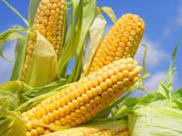 Кукуруза на експорт (первый сорт, фуражная )