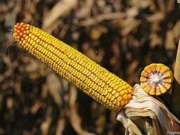 Кукуруза НС-2652 ФАО 280. Югагролидер
