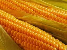 Кукуруза НС 2922 Сербия, кукуруза купить цена