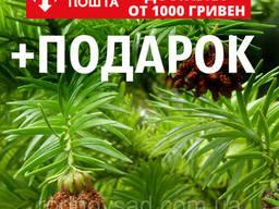 Куннингамия ланцетовидная семена (50 шт) (Cunninghamia. ..