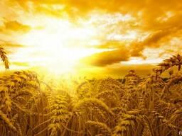 Купим пшеницу 1-6 класса ! Дороого !!