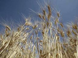 Купим пшеницу 4 класс. Днепропетровск