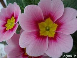 Купить цветок примула на 14 февраля и 8 марта, подарки, цвет