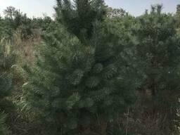 Купить елки,сосны с лесничества оптом