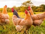 Куплю домашнюю курицу живым весом - фото 1