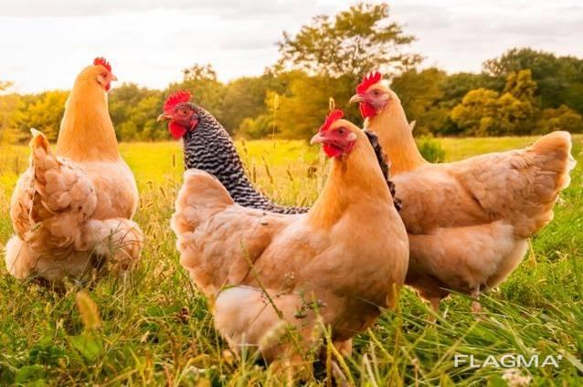 Куплю домашнюю курицу живым весом