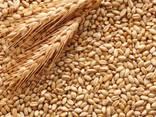 Куплю кукурудзу, пшеницю фуражну, овес - фото 1
