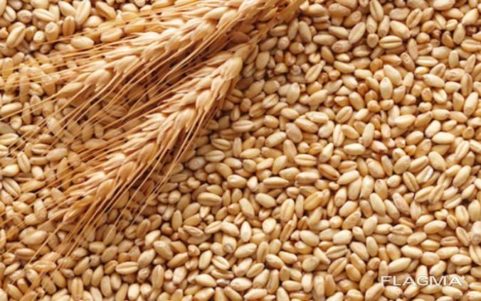 Куплю кукурудзу, пшеницю фуражну, овес