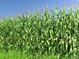 Куплю кукурузу!