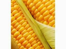 Куплю кукурузу базовую и с повышенной зерновой в Сумской обл