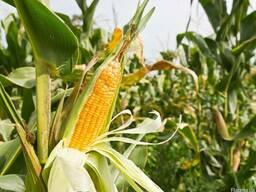 Куплю кукурузу с превышенной зерновой