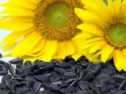 Куплю насіння соняшнику