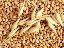 Куплю некондиционную фуражную пшеницу и кукурузу по Винницкой области