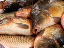 Куплю оптом живую и свежую рыбу карп, Тослобик - фото 2