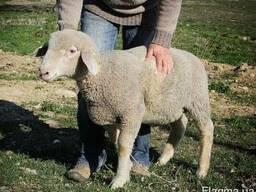 Куплю овец породы Меринос срочно !