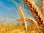 Куплю пшеницу 2кл, 3кл, постоянно, самовывоз - фото 1