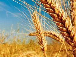 Куплю пшеницу 2кл, 3кл, постоянно, самовывоз