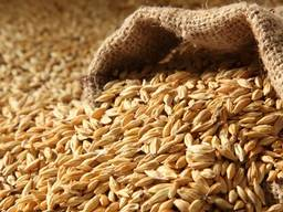 Куплю пшеницу, фуражное зерно, ячмень, кукурузу