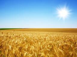 Куплю кукурузу некондиционную