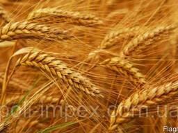 Куплю пшеницу фуражную, ячмень, кукурузу, горох, просо.