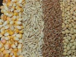 Куплю пшеницу, кукурузу фуражную.