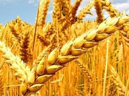 Куплю 2021г. пшеницу и рожь на экспорт