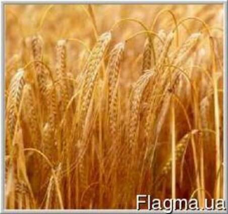 Куплю пшеницу,овес,кукурузу,рожь,ячмень по Луганской обл.