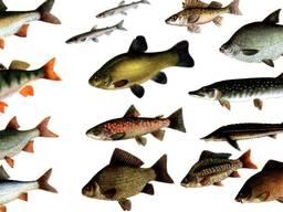 Куплю речную рыбу
