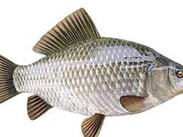 Куплю речную рыбу. Оптом.