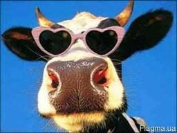 Куплю скот: КРС, бички, коровы, телки, кони, свиньи