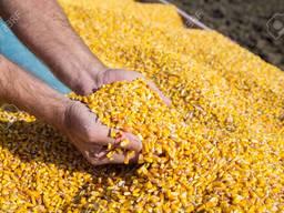 Куплю вологу кукурудзу