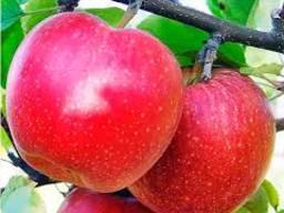 Куплю яблука сорту гала