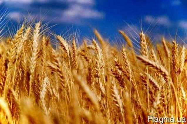 Куплю: Закупаем срочно, дорого! Пшеницу 2 кл., 3 кл., фуражн