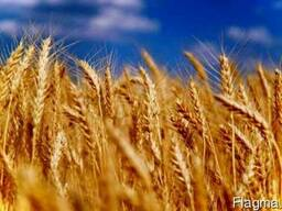 Куплю: Закупаем срочно, дорого! Пшеницу 2 кл. , 3 кл. , фуражн