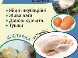 Курчата Бройлер