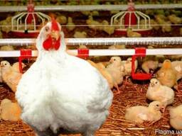Куры Бройлеры живым весом Кобб 500 польща курка курча